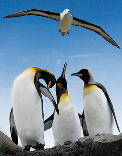 Composite image using Photoshop. I could not resist the temptation to add the flying albatross above the 3 King penguins in comical poses.